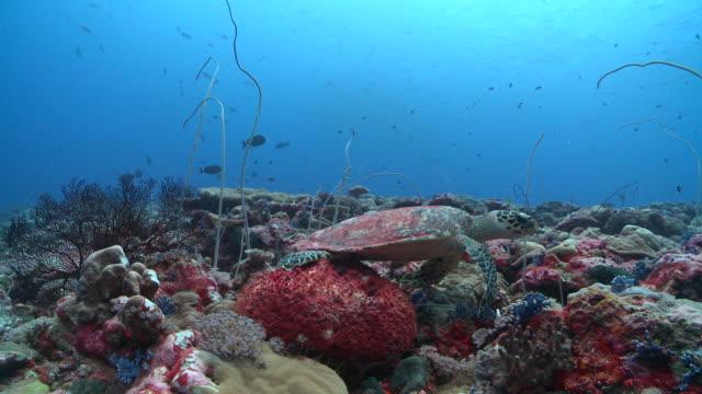 ms hawksbill turtle on reef / palau, micronesia, palau  - hawksbill turtle stock videos & royalty-free footage