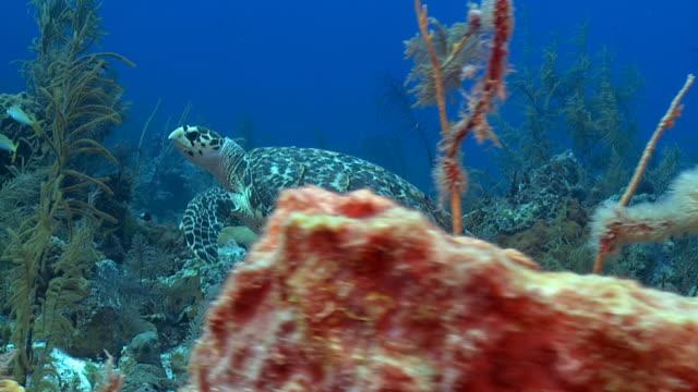 echte karettschildkröte über tropischen caribbean reef - echte karettschildkröte stock-videos und b-roll-filmmaterial