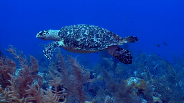 Hawksbill Turtle over tropical Caribbean reef