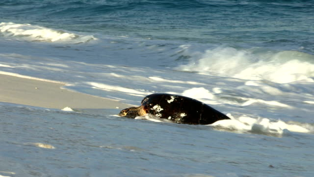 A Hawksbill turtle slowly emerges from the surf to lay her eggs on a beach.