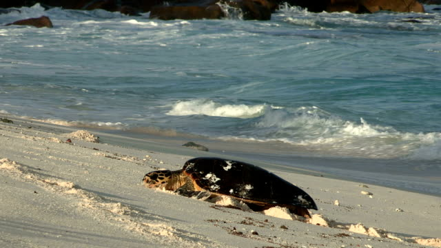 A Hawksbill turtle slowly moves through the sand as waves crash behind her.
