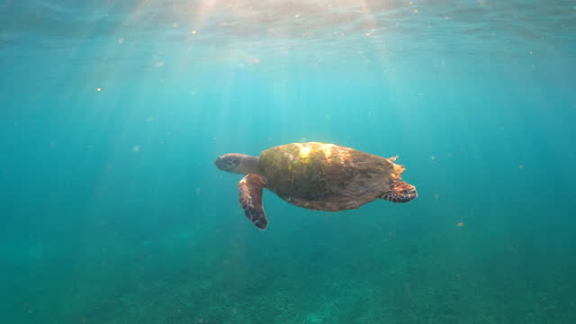 hawksbill turtle swiming in the shallow water sea - animal shell stock videos & royalty-free footage