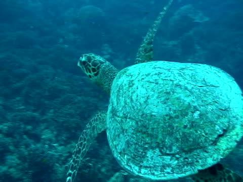 ms, cu, hawksbill turtle (eretmochelys imbricata) swimming in sea, similan islands - hawksbill turtle stock videos & royalty-free footage