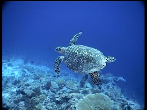stockvideo's en b-roll-footage met ms hawksbill turtle swimming over reef away from camera, camera tracks forward turtle, layang layang, malaysia - vachtpatroon