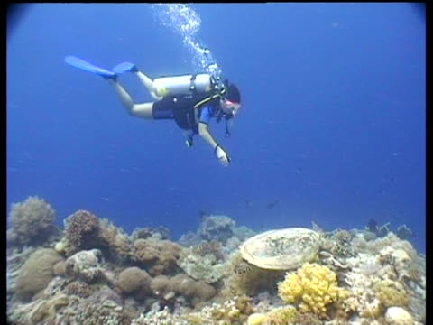 vidéos et rushes de ms hawksbill turtle swimming over reef, beneath diver, layang layang, malaysia - organisme aquatique