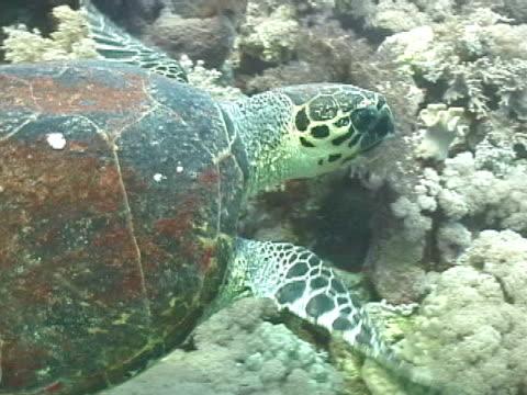 vidéos et rushes de hawksbill turtle swimming - organisme aquatique