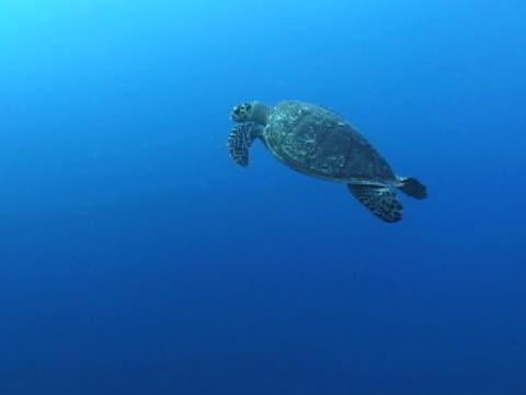 hawksbill turtle swimming - echte karettschildkröte stock-videos und b-roll-filmmaterial