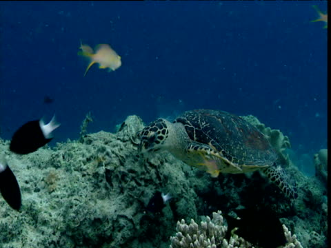 Hawksbill turtle swims and feeds amongst reef fishes, Sipadan