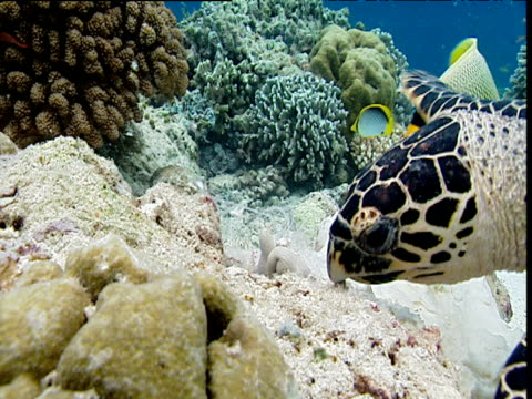 Hawksbill turtle swims and feeds on sponge amongst coral reef, Sipadan