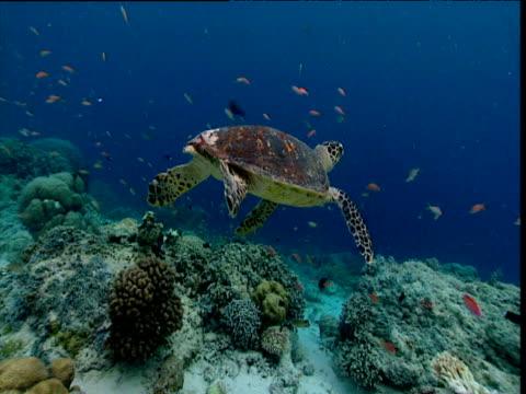 hawksbill turtle swims away from camera, sipadan - hawksbill turtle stock videos & royalty-free footage