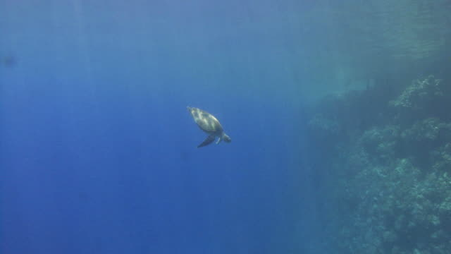 hawksbill turtle (eretmochelys imbriocota) swims from surface to reef, red sea, egypt - hawksbill turtle stock videos & royalty-free footage