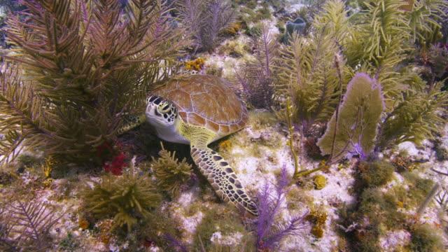hawksbill turtle swims over colorful reef, minnow caves area, key largo, florida - echte karettschildkröte stock-videos und b-roll-filmmaterial