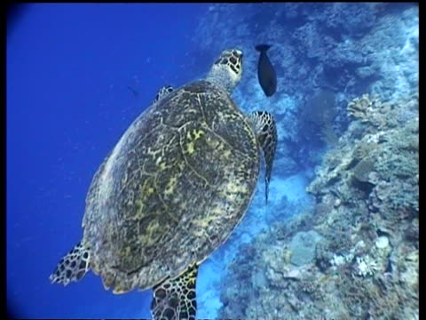 ms hawksbill turtle swims over reef drop off,  rear view, away from camera, high angle, layang layang, malaysia - 潜水ボンベ点の映像素材/bロール
