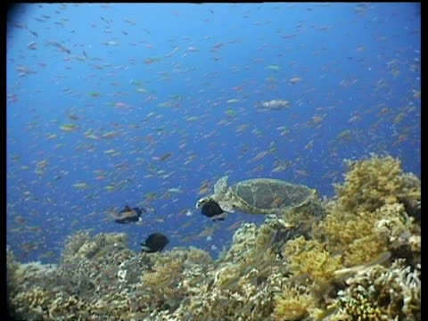 vidéos et rushes de ms hawksbill turtle swims over reef, side view,  camera tracks left, past anthias shoal, layang layang, malaysia - organisme aquatique