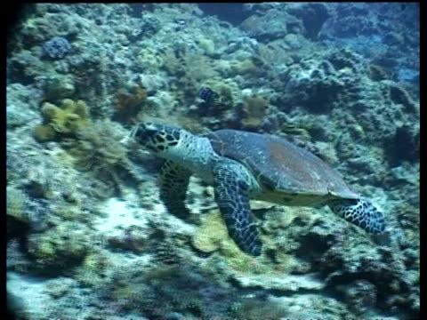 vídeos y material grabado en eventos de stock de ms hawksbill turtle swims over reef, side view, camera tracks over turtle, divers in background, layang layang, malaysia - patrones de colores