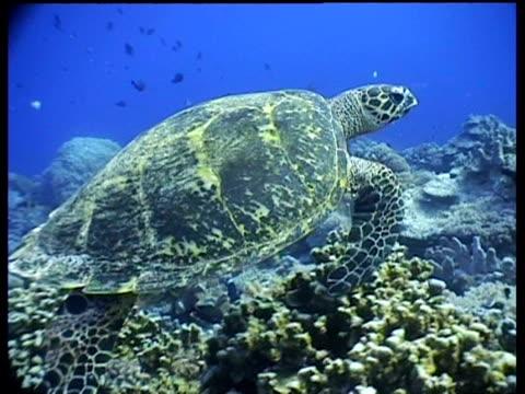 vídeos y material grabado en eventos de stock de cu hawksbill turtle swims over reef, side view, track right, layang layang, malaysia - patrones de colores