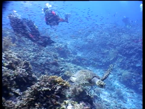 ms hawksbill turtle swims over reef to and under camera, shoal of small fish swim past in background, layang layang, malaysia - 潜水ボンベ点の映像素材/bロール