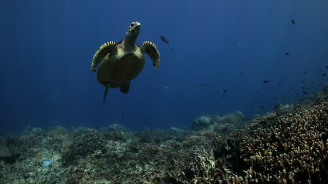 hawksbill turtle swims over top of the coral reef - underwater diving stock videos & royalty-free footage