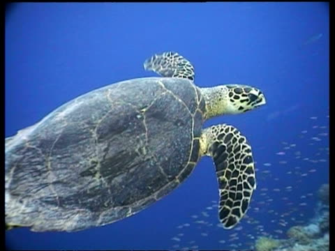 mcu hawksbill turtle swims past and away from camera, across coral reef, borneo - 空気力学点の映像素材/bロール