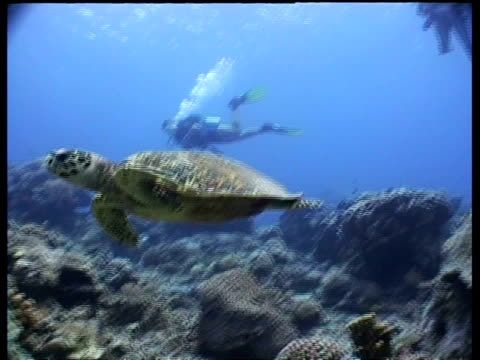 ms hawksbill turtle swims past camera over reef, divers in background, low angle, layang layang, malaysia - 潜水ボンベ点の映像素材/bロール