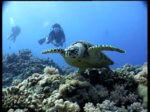 vídeos y material grabado en eventos de stock de ms hawksbill turtle swims to camera over reef, divers in background, cu turtle shell and markings, layang layang, malaysia - patrones de colores