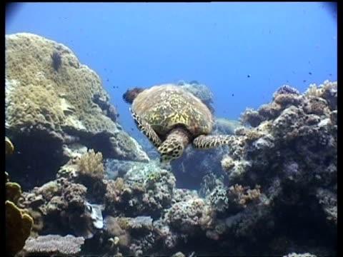 vídeos y material grabado en eventos de stock de ms hawksbill turtle swims to camera over reef, cu turtle swims past camera and away toward divers, layang layang, malaysia - patrones de colores