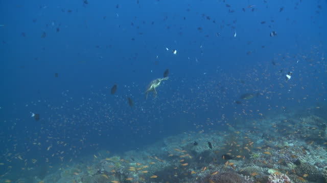 Hawksbill Turtle (Eretmochelys imbricata) swims to camera, surrounded by reef fish, Baa Atoll, The Maldives