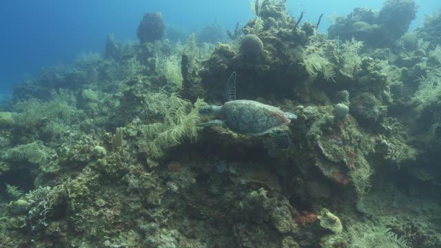 hawksbill turtle (eretmochelys imbricata) swims various and foraging on reef, roatan island, honduras  - reef stock videos & royalty-free footage