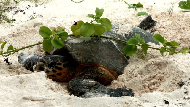A Hawksbill turtle uses her flippers to cover her shell with sand as she lays her eggs.