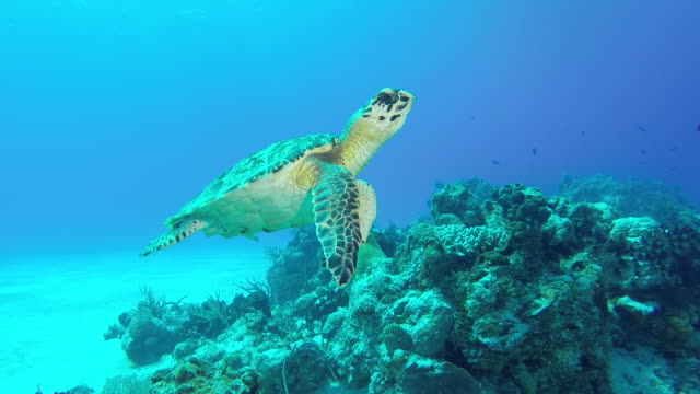 hawksbill turtle - endangered species stock videos & royalty-free footage