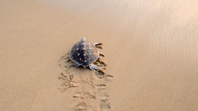 vídeos y material grabado en eventos de stock de tortuga de carey (hawksbill turtle) - dermoquélidos