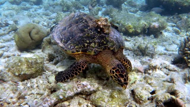Tartaruga embricata con conchiglie sulla barriera corallina-Maldive