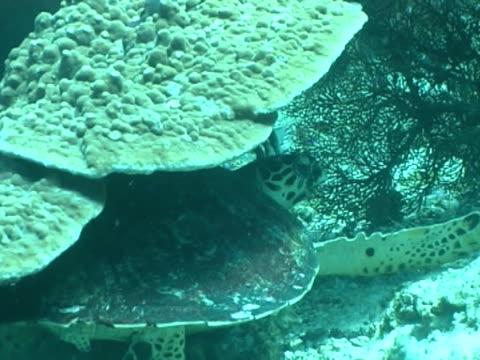 vidéos et rushes de hawskbill turtle mcu under coral scratching shell - organisme aquatique