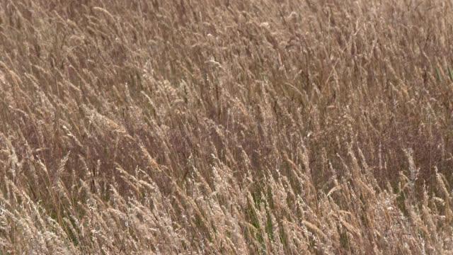 vídeos y material grabado en eventos de stock de campo del heno meciéndose en el viento - johnfscott