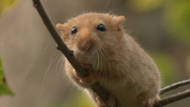hazel dormouse - roditore video stock e b–roll