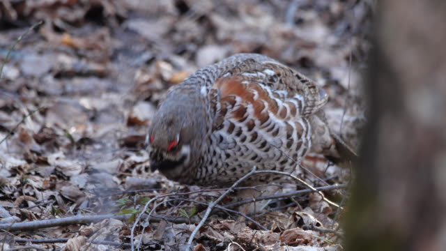 hazel grouse (tetrastes bonasia) in spring forest - zoology stock videos & royalty-free footage