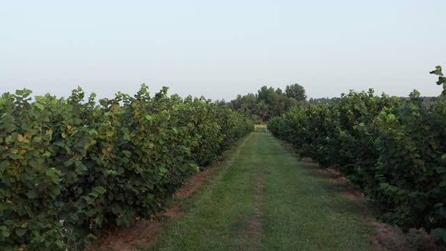 ヘーゼルナッツ果樹園5歳 - 果樹園点の映像素材/bロール