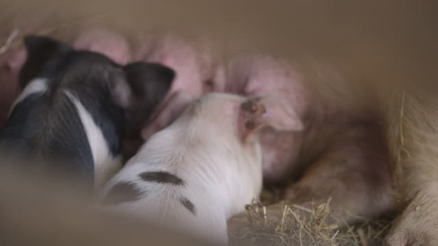 Hazy sequence showing piglets feeding from their mother's udder, UK.