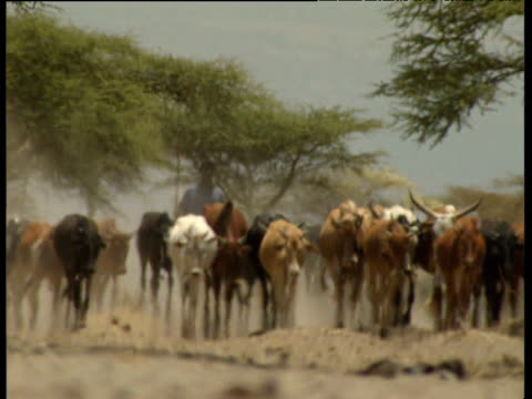 Hazy shot of man herding cattle towards camera