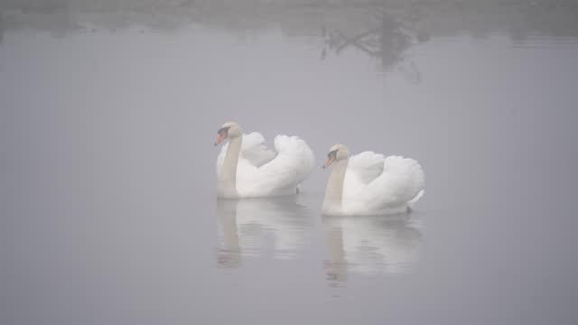 höckerschwan (cygnus color) - swan stock videos & royalty-free footage