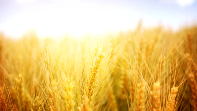HD1080:Ripe wheat,closeup,static