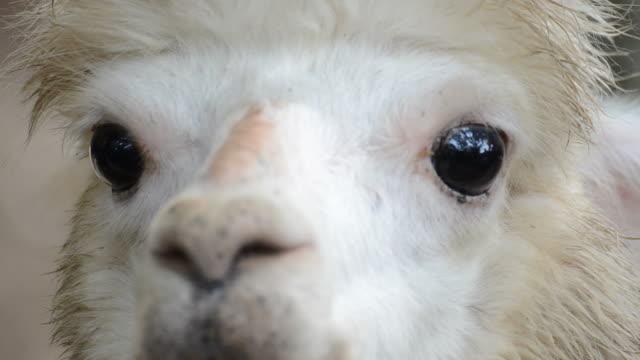 HD:Alpaca närbild i Sydafrika