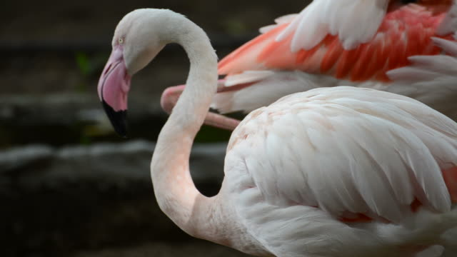 hd:american flamingo in nature - florida south africa stock videos & royalty-free footage