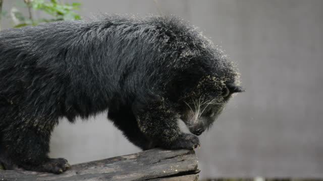 HD: orso nero binturong rilassatevi nella natura