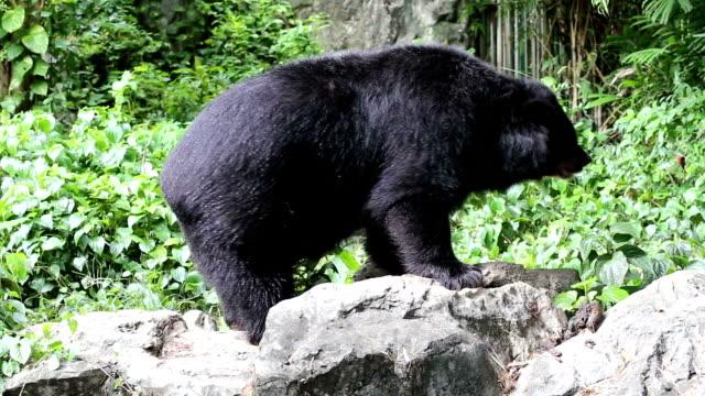 HD: Bear Dance