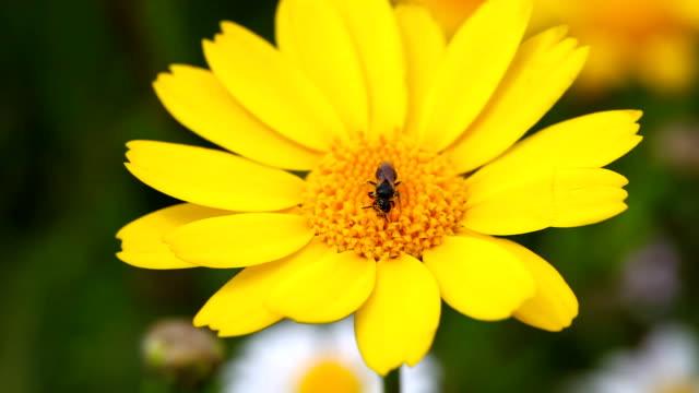 HD: Biene und Blume