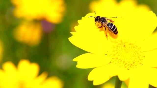 stockvideo's en b-roll-footage met hd:bee and flower - bij