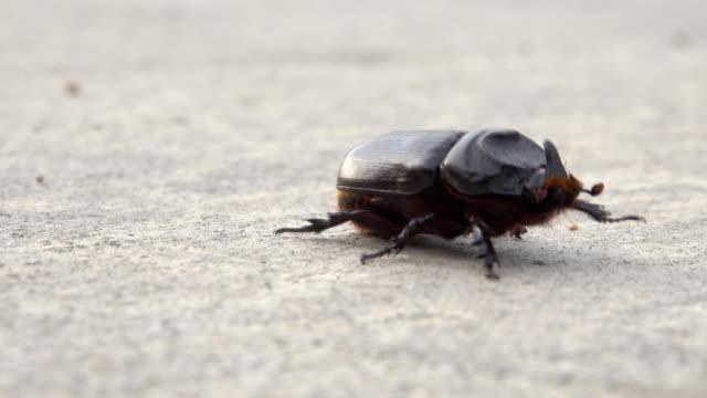 vídeos y material grabado en eventos de stock de hd:escarabajo - escarabajo de cuerno largo