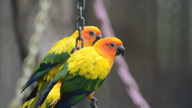 HD:Bird sun conure parrot