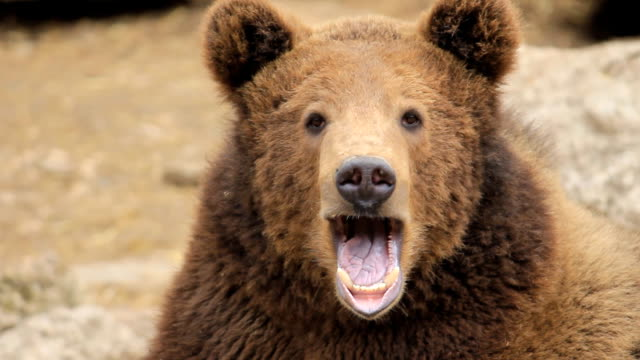 hd:brown bear portrait - mouth open stock videos and b-roll footage